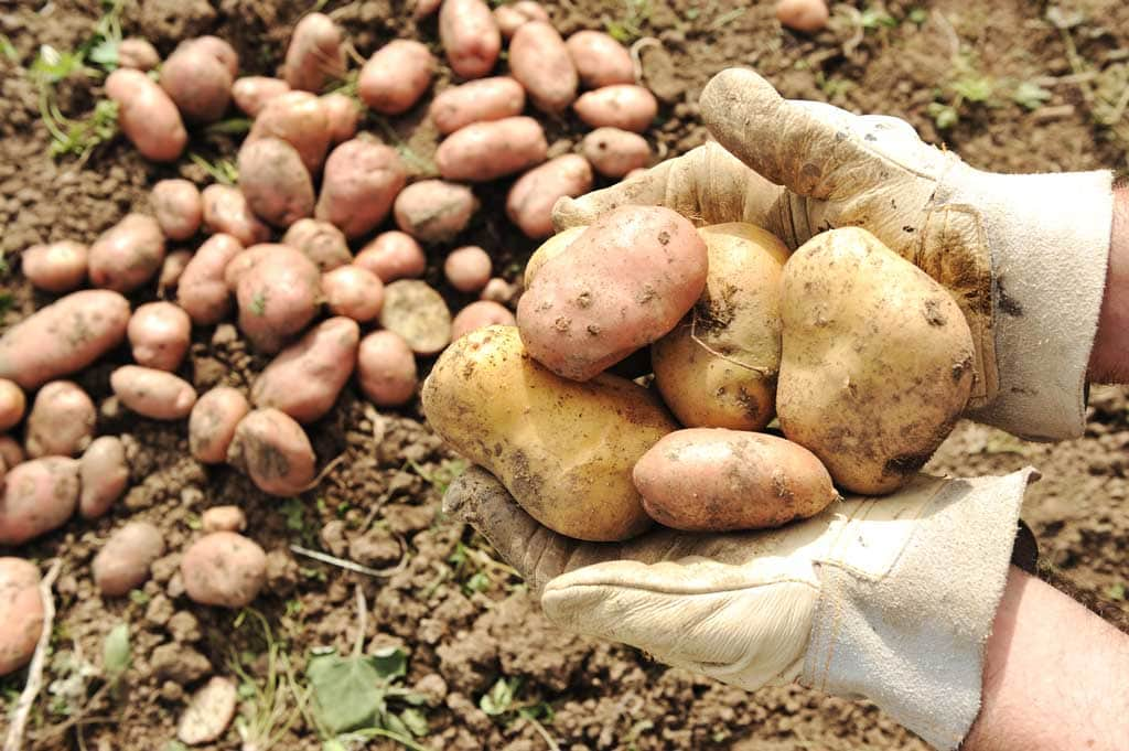 Harvest of Potatoes in Peru