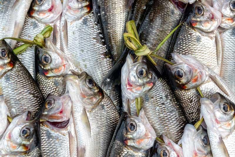 raw unprepared fresh fish for ceviche