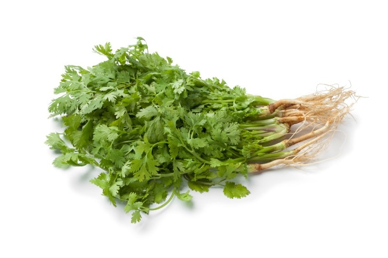 cilantro herb with roots