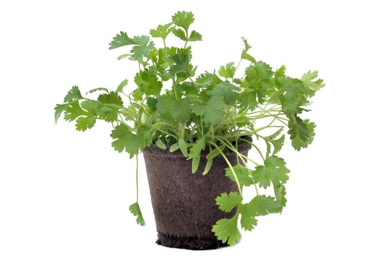 coriander herb in pot
