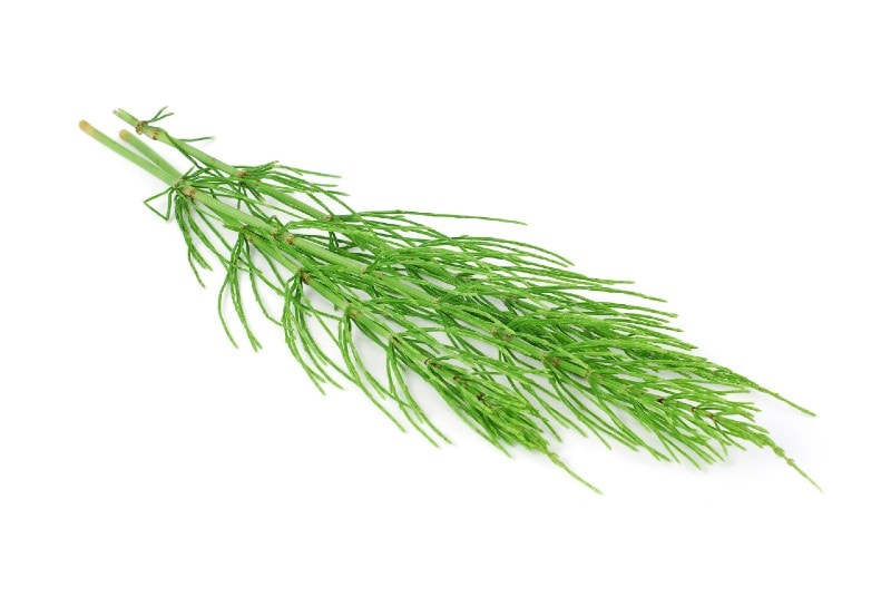 horsetail herb