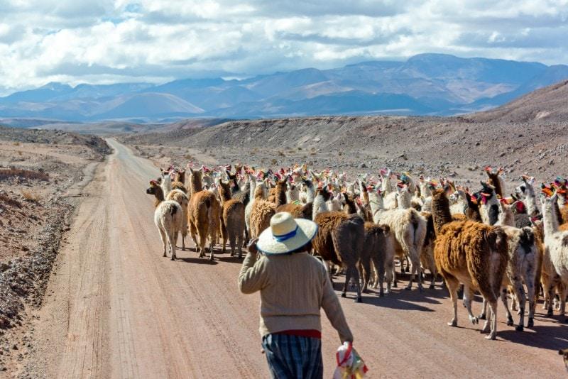 llama herd in rural peru with farmer