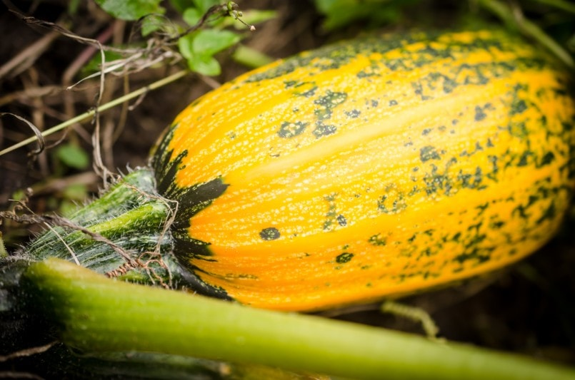squash vegetable fruit from peru