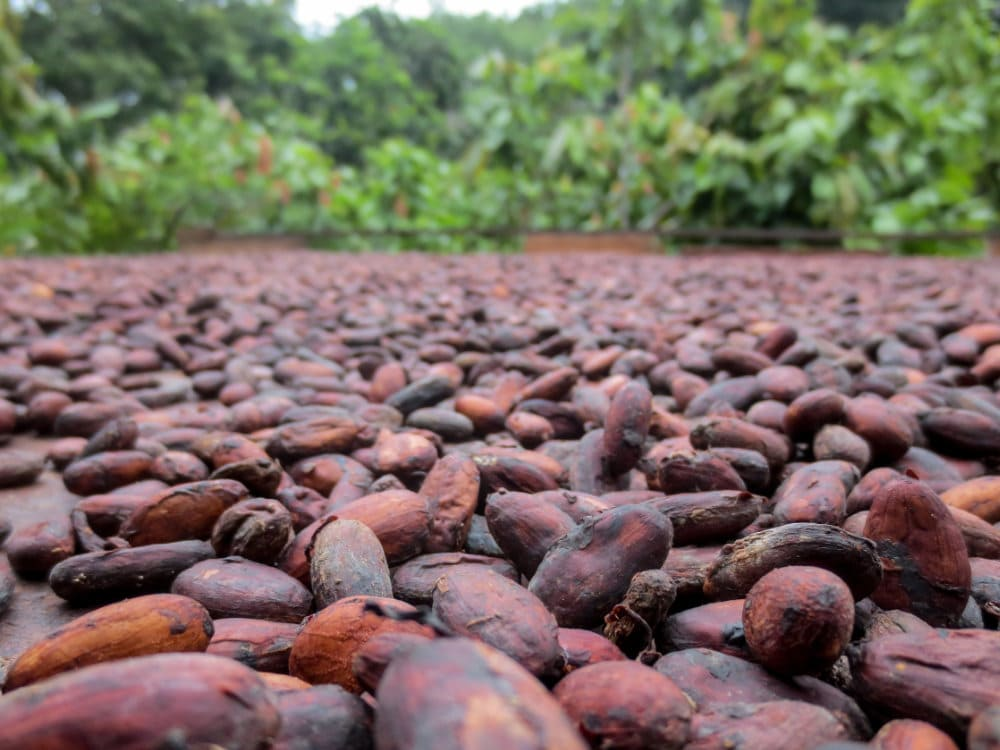 Cacao beans drying at a farm in Latin America